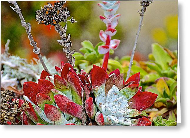 Succulents In Point Lobos State Reserve Near Monterey-california  Greeting Card