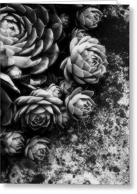 Succulent...two Greeting Card by Tom Druin