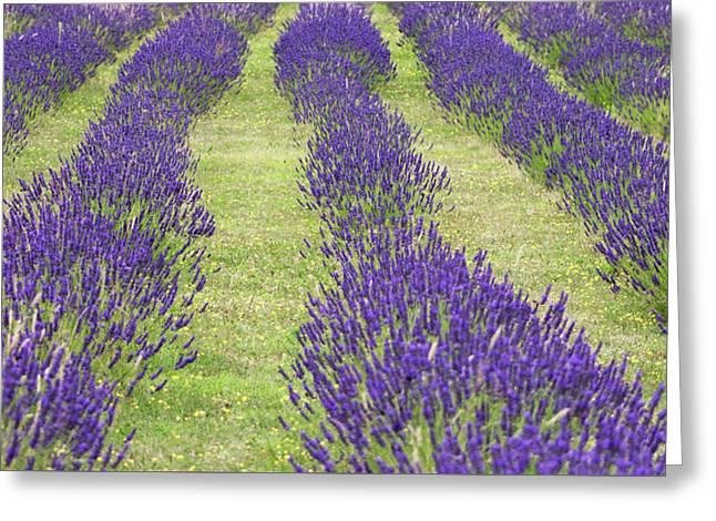 Suffolk Lavender Farm Greeting Card