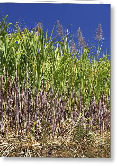 Sugar Cane Greeting Card
