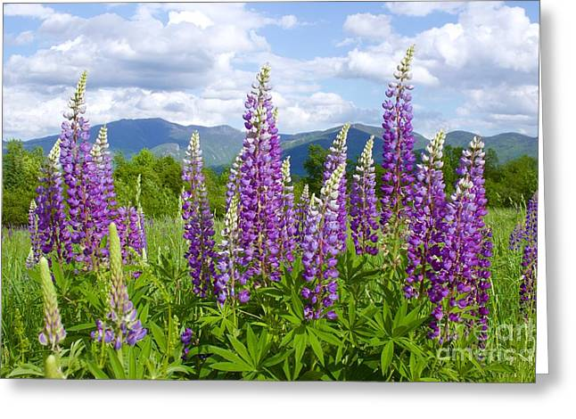 Sugar Hill Lupines Greeting Card by Alice Mainville