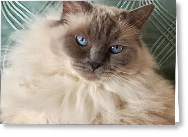 Sugar My Ragdoll Cat Greeting Card