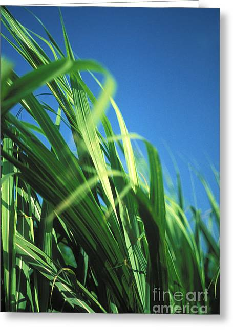 Sugarcane Plant Greeting Card by Vince Cavataio - Printscapes