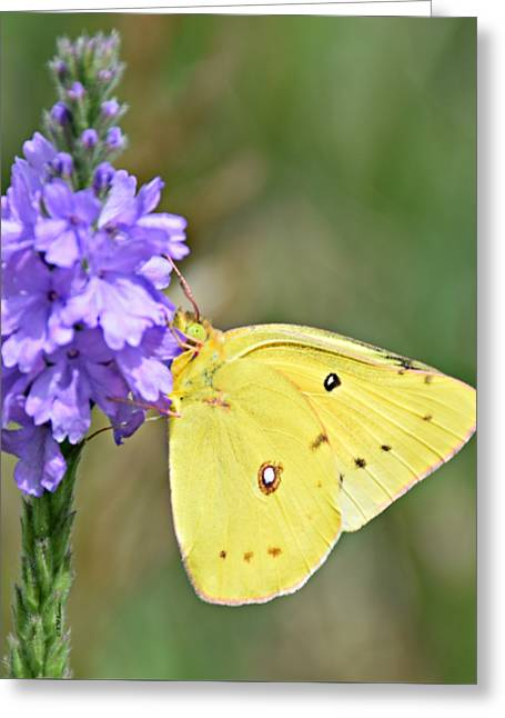 Sulfur Butterfly Greeting Card