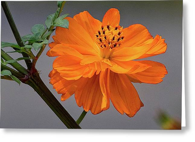 Sulfur Cosmos Greeting Card