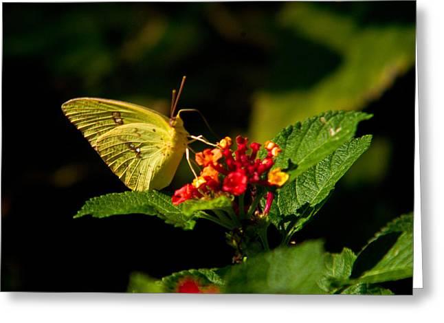 Sulpher Butterfly On Lantana Greeting Card by Douglas Barnett