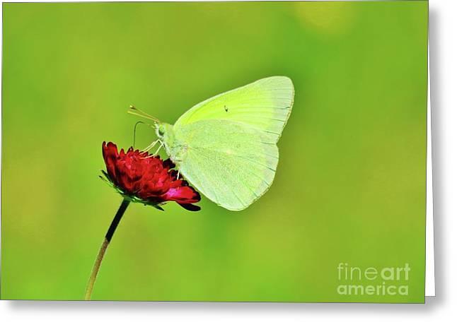 Sulphur Butterfly On Knautia Greeting Card