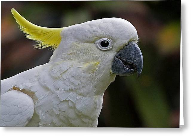 Sulphur-crested Cockatoo Greeting Card by Larry Linton