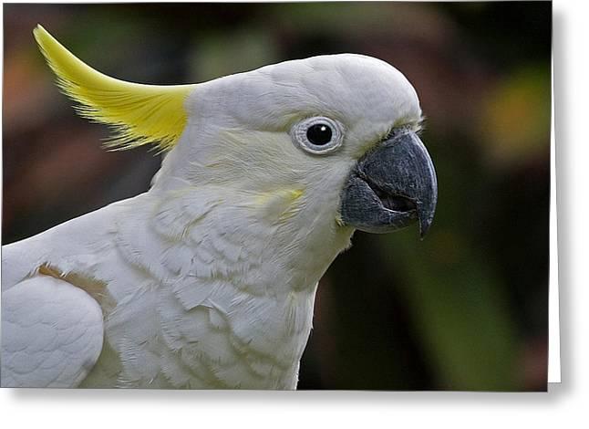 Sulphur-crested Cockatoo Greeting Card