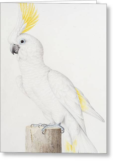 Sulphur Crested Cockatoo Greeting Card by Nicolas Robert