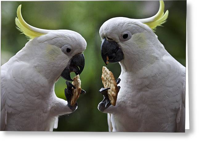 Sulphur Crested Cockatoo Pair Greeting Card by Avalon Fine Art Photography