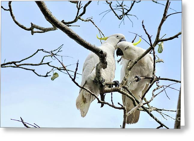 Sulphur Crested Cockatoos Greeting Card