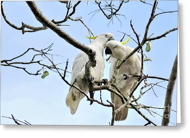 Sulphur Crested Cockatoos Greeting Card by Kaye Menner