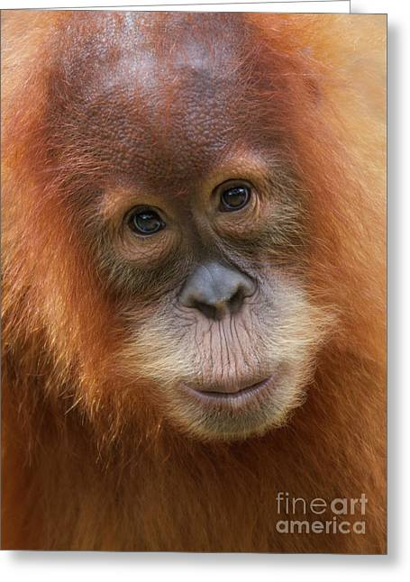 Sumatra Orangutan Juvenile Greeting Card by Jerry Fornarotto