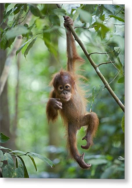Orang-utans Greeting Cards - Sumatran Orangutan Pongo Abelii One Greeting Card by Suzi Eszterhas