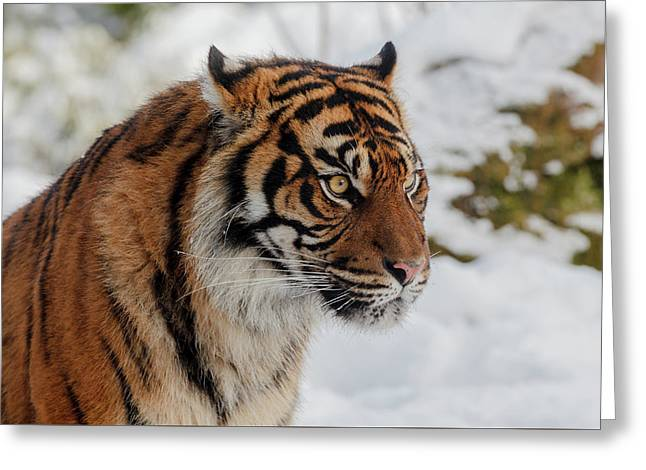 Sumatran Tiger In The Snow Greeting Card