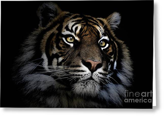 Sumatran Tiger Greeting Card by Avalon Fine Art Photography