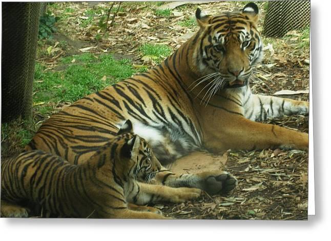 Sumatran Tigers  Greeting Card by Travis Day