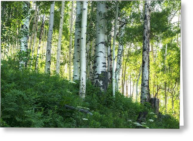 Greeting Card featuring the photograph Summer Aspen Forest by Tim Reaves