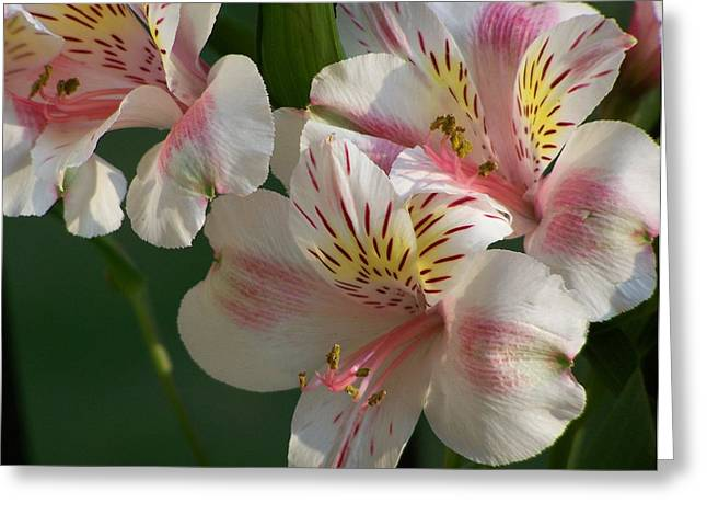 Summer Bloom IIi Greeting Card by Jake Hartz