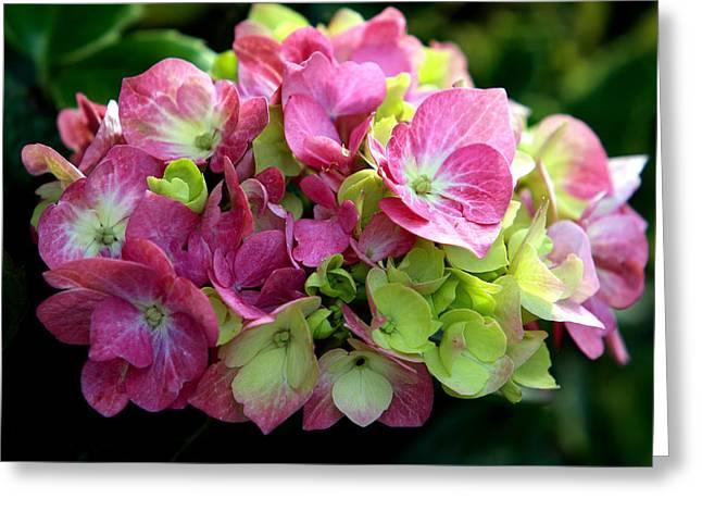 Hydrangea Blossom  Greeting Card by Aidan Moran