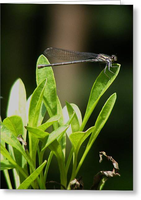 Greeting Card featuring the photograph Summer Damselfly by Margie Avellino