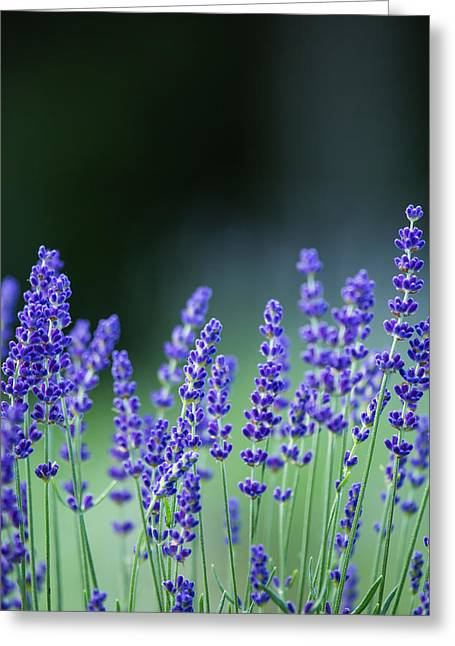 Summer Lavender Greeting Card
