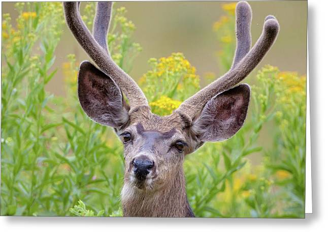 Summer Mule Deer Greeting Card by Jack Bell