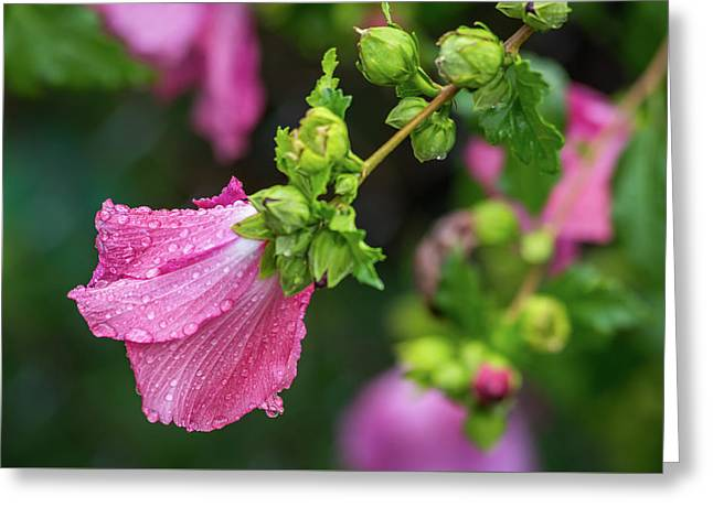 Summer Rain Rose Of Sharon Greeting Card by Terry DeLuco