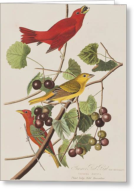 Summer Red Bird Greeting Card by John James Audubon