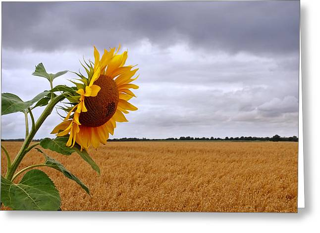 Summer Storm - Sunflower At Harvest Time Greeting Card