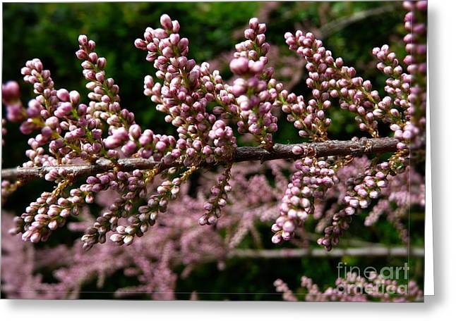 Greeting Card featuring the photograph Summer Tamarisk 2 by Jean Bernard Roussilhe