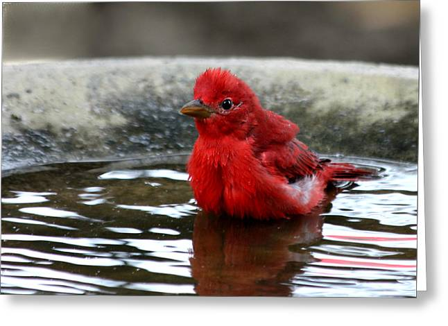 Summer Tanager In Bird Bath Greeting Card