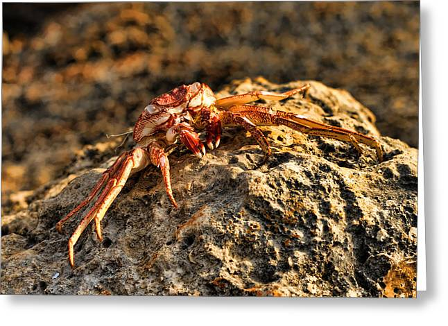 Sun-baked Spider Crab Greeting Card