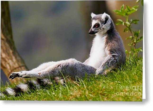 Sun Bathing Ring-tailed Lemur  Greeting Card