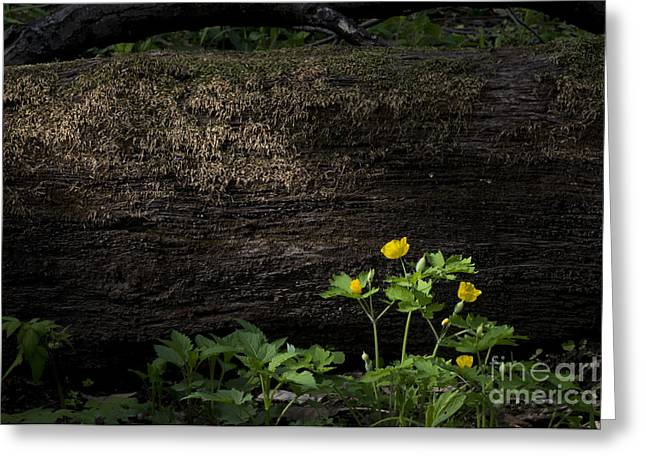 Sun Beam On Log Greeting Card
