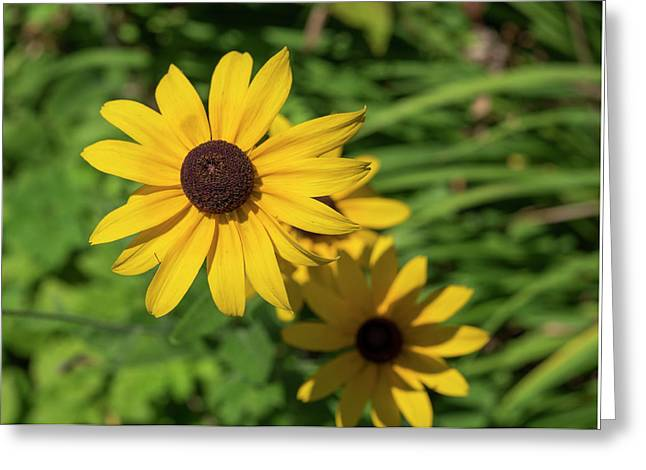Sun Drenched Daisy Greeting Card