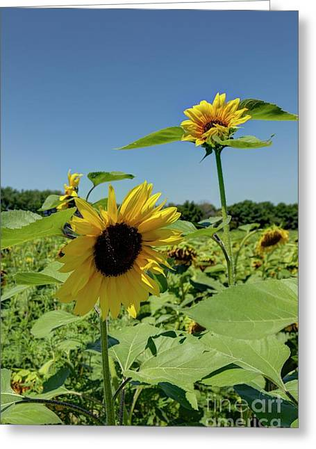 Sun Flower 3 Greeting Card