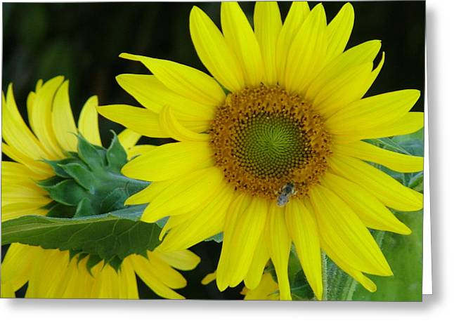Sun Flower And Honey Bee Greeting Card by Nick Gustafson
