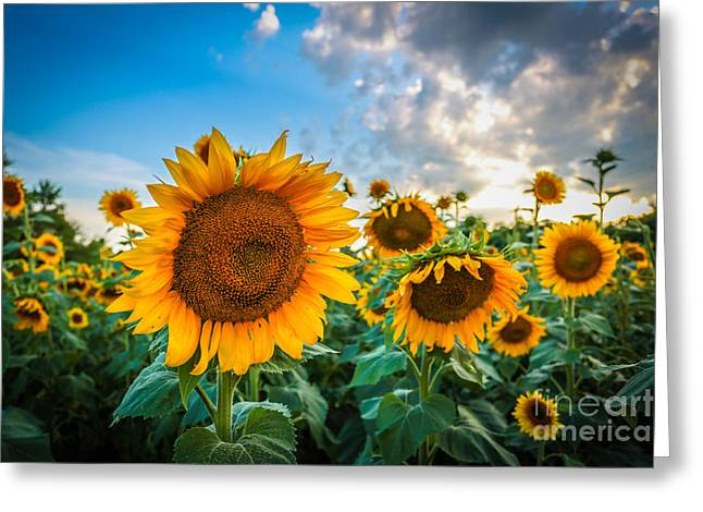 Sun Flower Glow Greeting Card by Mina Isaac
