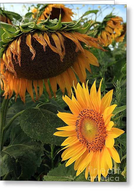 Sun Flowers  Past  And  Present  Greeting Card