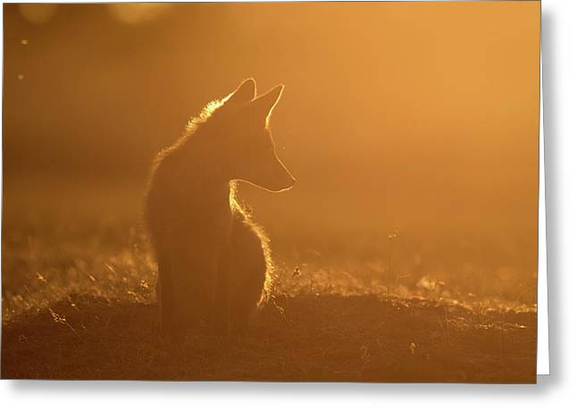 Sun Gazing Fox Greeting Card by Roeselien Raimond