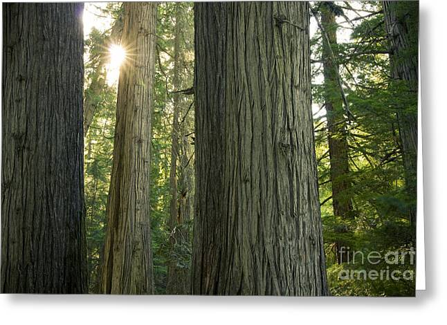 Sun In The Cedars Greeting Card by Idaho Scenic Images Linda Lantzy