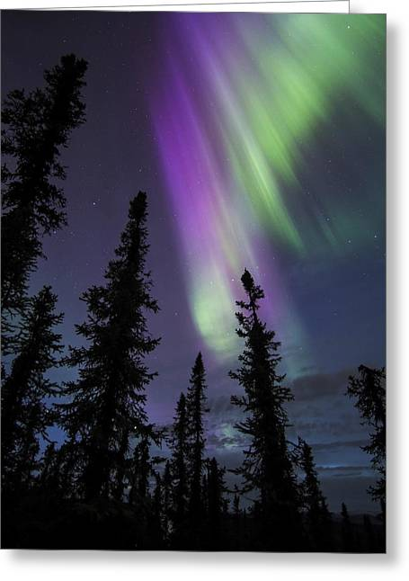 Sun-kissed Aurora Above The Spruces Greeting Card