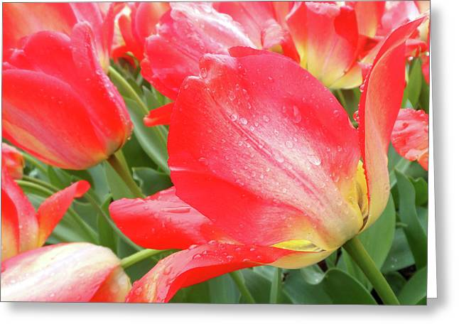Sun Lights Tulips After Spring Rain Greeting Card