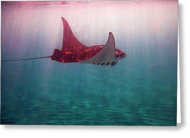 Manta Rays Greeting Cards - Sun Rays on a Manta Ray Greeting Card by Bette Phelan