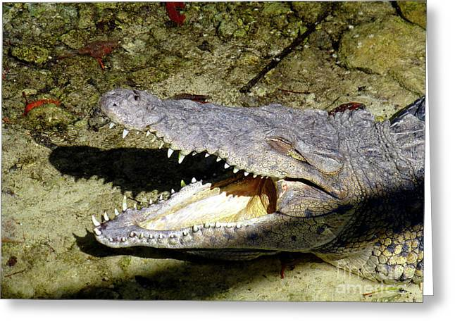 Greeting Card featuring the photograph Sunbathing Croc by Francesca Mackenney
