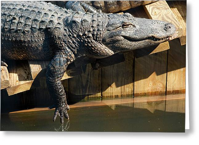 Sunbathing Gator Greeting Card by Carolyn Marshall