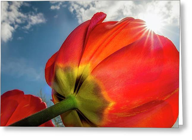 Sunbeams And Tulips Greeting Card