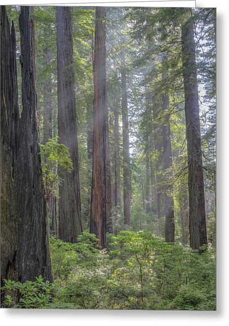 Greeting Card featuring the photograph Sunbeams Through The Forest by Paul Schultz